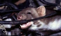 Ba cách hạn chế chuột cắn dây điện ô tô