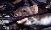 Làm sao chống chuột chui vào khoang động cơ?
