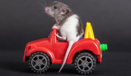 Không chỉ con người, chuột cũng là loài vật biết lái xe
